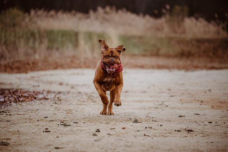 jowly dog running on beach, action shots | ©Erin Cynthia Photography