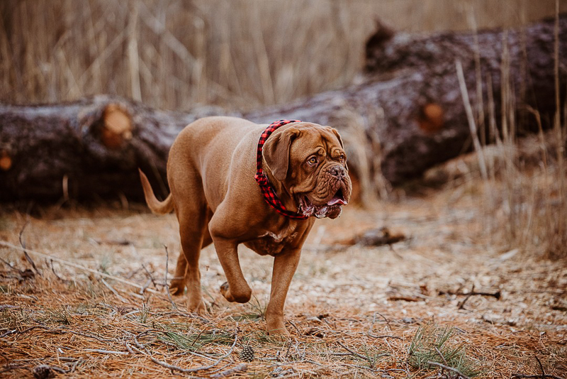 cute dogue de bordeaux walking in Cheesequake State Park, NJ | ©Erin Cynthia Photography
