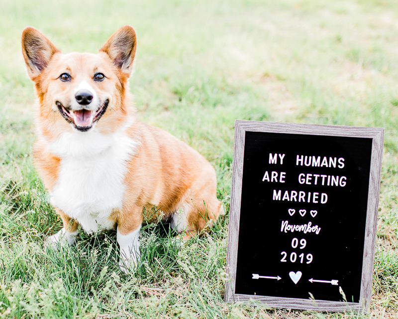 happy Corgi with Save the Date sign | ©Morgan Lee Photography, Alexandria engagement and wedding photographer