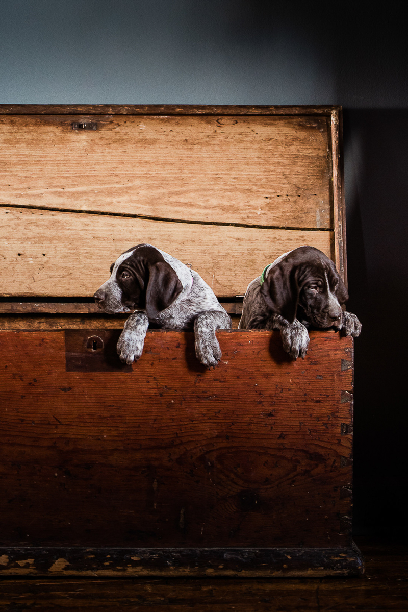 liver and white German Shorthaired Pointer pups in big wooden box | ©Sanderson Images