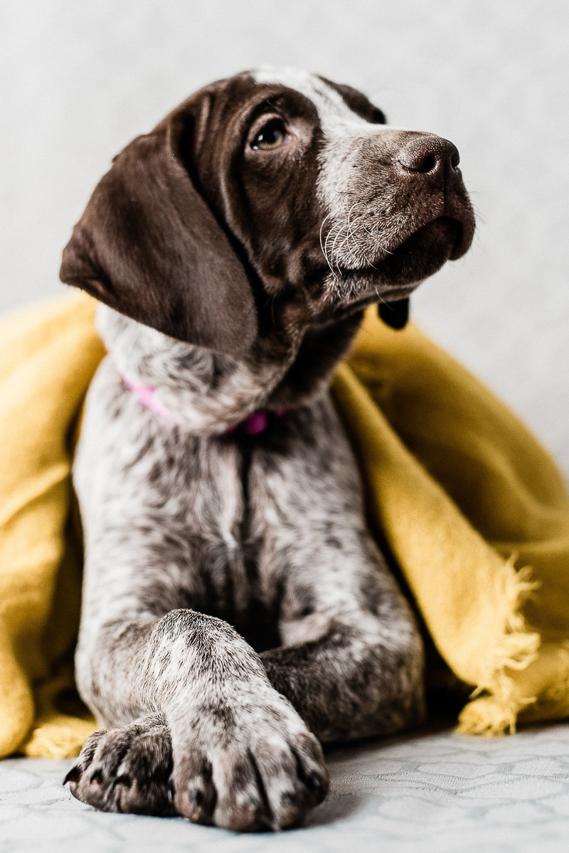 cute puppy under yellow blanket ©Sanderson Images, Pet photographers, Lancaster, PA