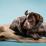 Puppy Love: German Shorthaired Pointers