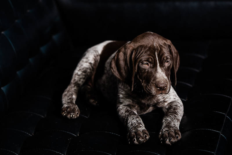 German Shorthaired Pointer on black sofa | ©Sanderson Images, Lancaster, PA