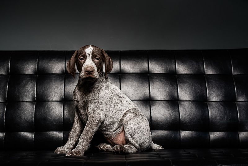 puppy sitting on black sofa, ©Sanderson Images, Lancaster, PA
