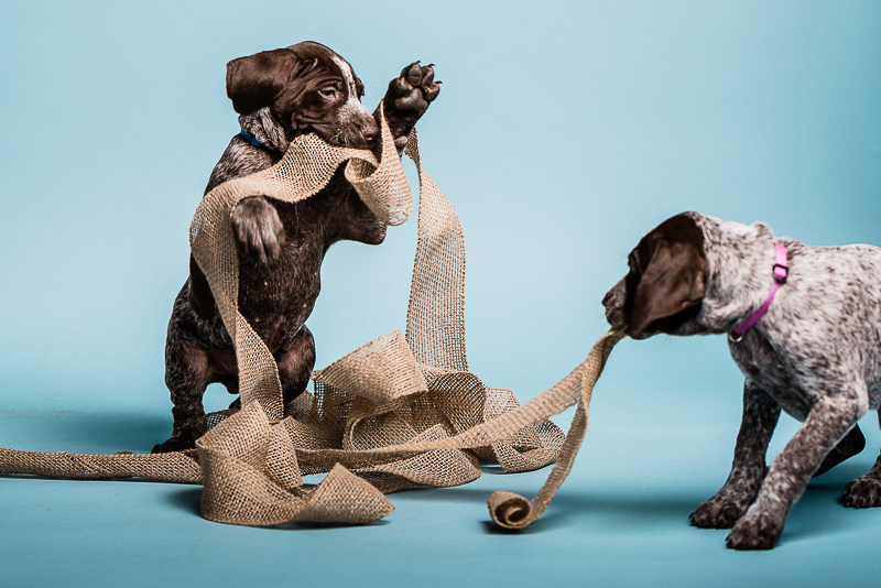 puppies playing with burlap ribbon, ©Sanderson Images, Lancaster, PA