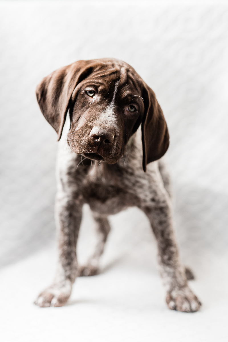 adorable German Shorthaired Pointer | ©Sanderson Images