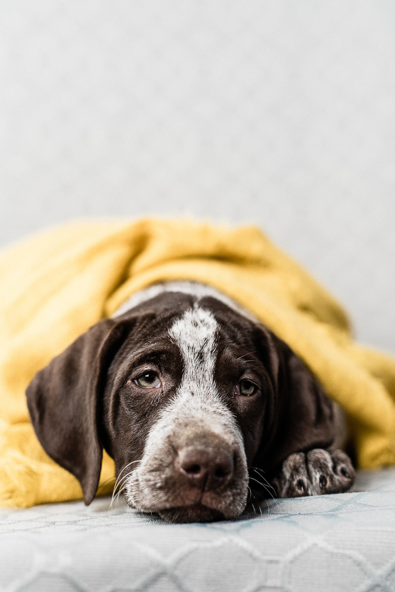 sleepy German Shorthaired Pointer under yellow blanket | ©Sanderson Images, Lancaster, PA