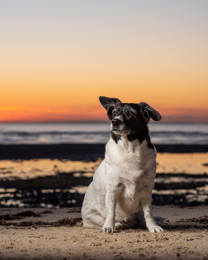 beach dog, on location pet photography ideas, sunrise session | ©Steven Penman Photography, St Leonards, Victoria