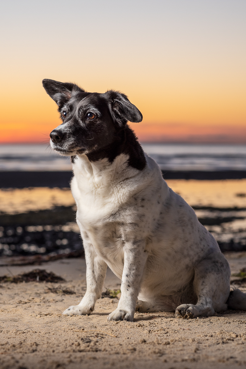 sunrise pet photography, Jack russell/springer spaniel mix ©Steven Penman Photography