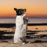 Happy Tails:  Queen Tara the Jack Russell/Springer Spaniel Mix