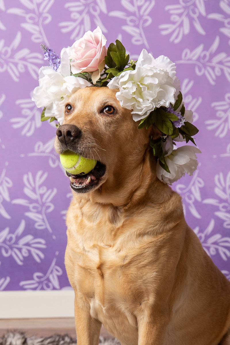 dog holding tennis ball in mouth and wearing floral crown ©Tangled Lilac Photography - studio dog photography