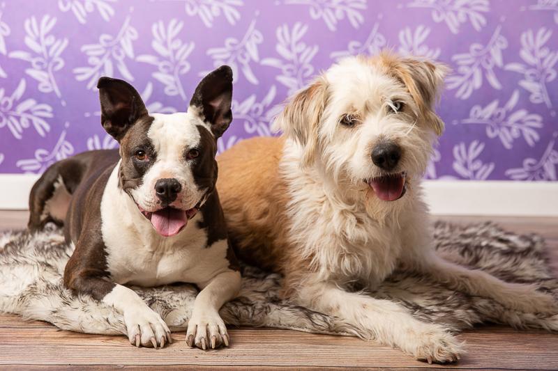 cute dogs, studio pet portraits, Flagstaff, AZ | ©Tangled Lilac Photography