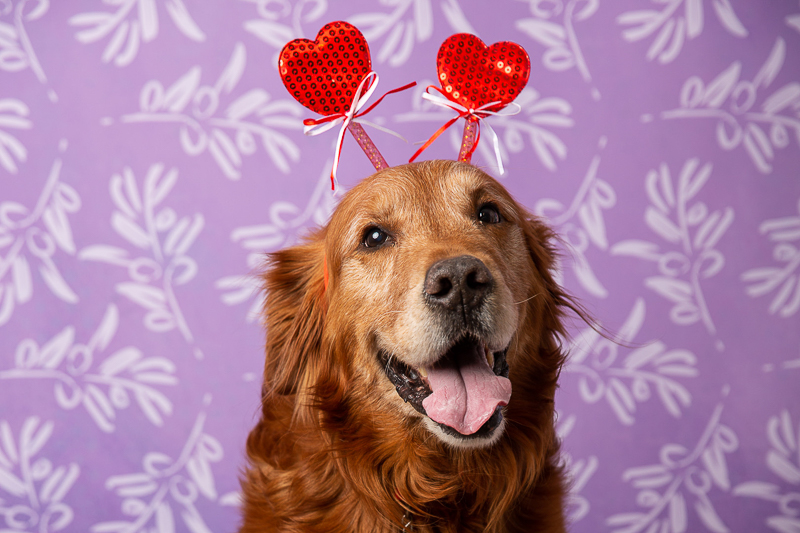 Golden Retriever wearing heart headband | ©Tangled Lilac Photography - Fundraiser portraits for High Country Humane