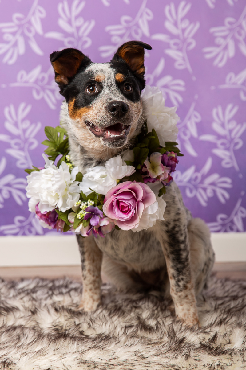cute cattle dog wearing floral wreath ©Tangled Lilac Photography - studio dog photography fundraiser, Valentails