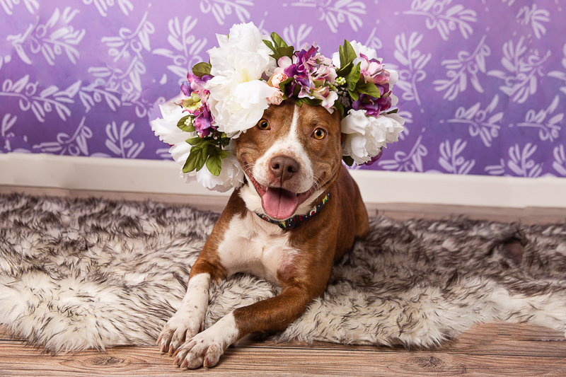 happy Pittie mix wearing floral crown | ©Tangled Lilac Photography - studio dog photography fundraiser, Valen-tail