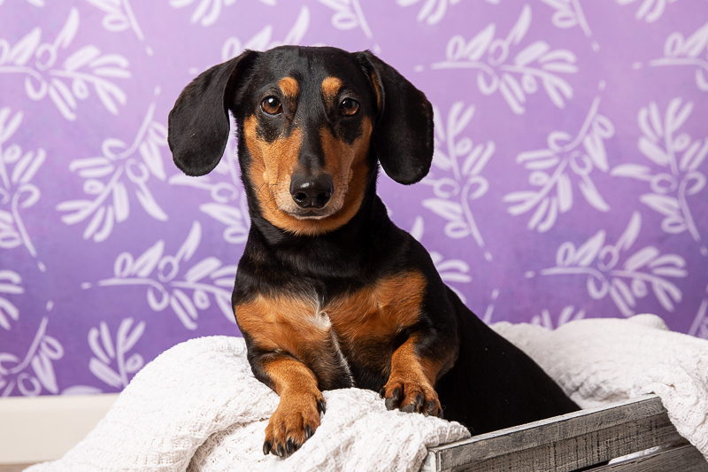 handsome black and tan dachshund, ©Tangled Lilac Photography - studio dog photography fundraiser