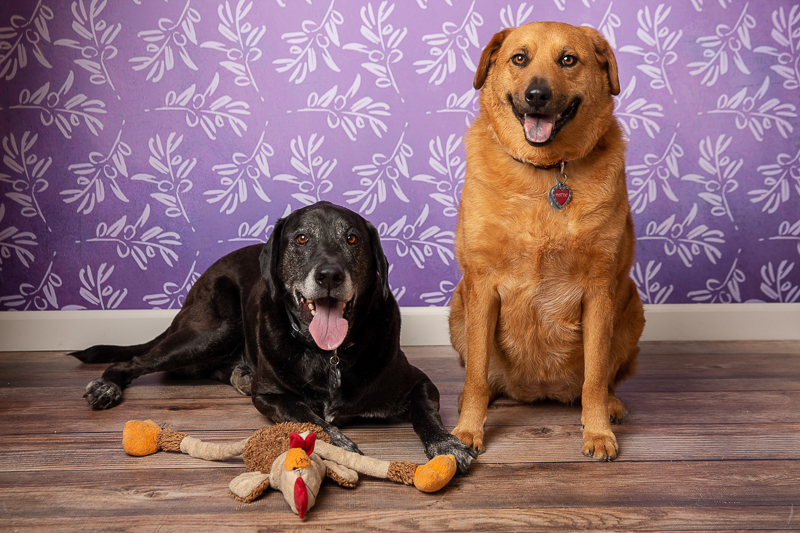 Lab mix and mixed breed dogs, ©Tangled Lilac Photography - Flagstaff, Sedona, Greater Phoenix pet photographer, Valen-tail fundraiser