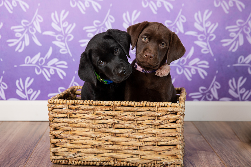 cute black and chocolate lab puppies in a basket, studio pet photography | ©Tangled Lilac Photography