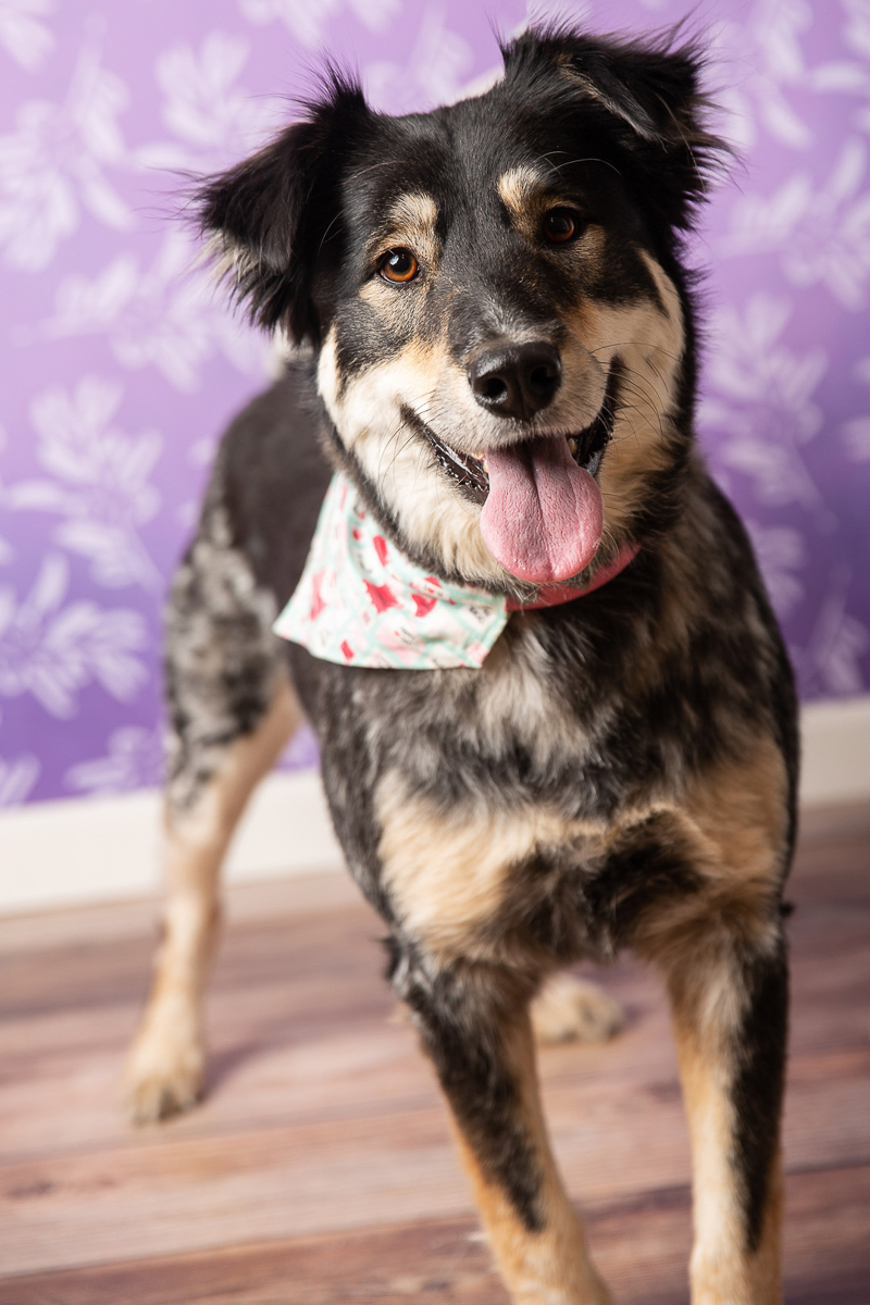 cute mixed breed wearing Valentine's Day bandana | ©Tangled Lilac Photography
