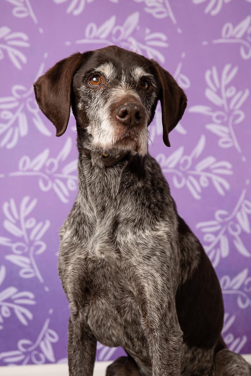 German shorthaired pointer, studio pet photography, ©Tangled Lilac Photography - Flagstaff, Arizona