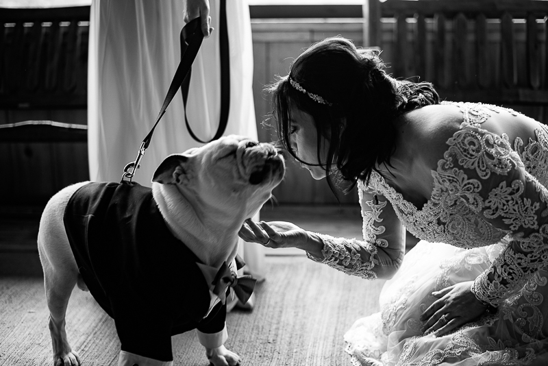 English Bulldog puckering up for a kiss, pet-friendly wedding ©Weddings By Ray
