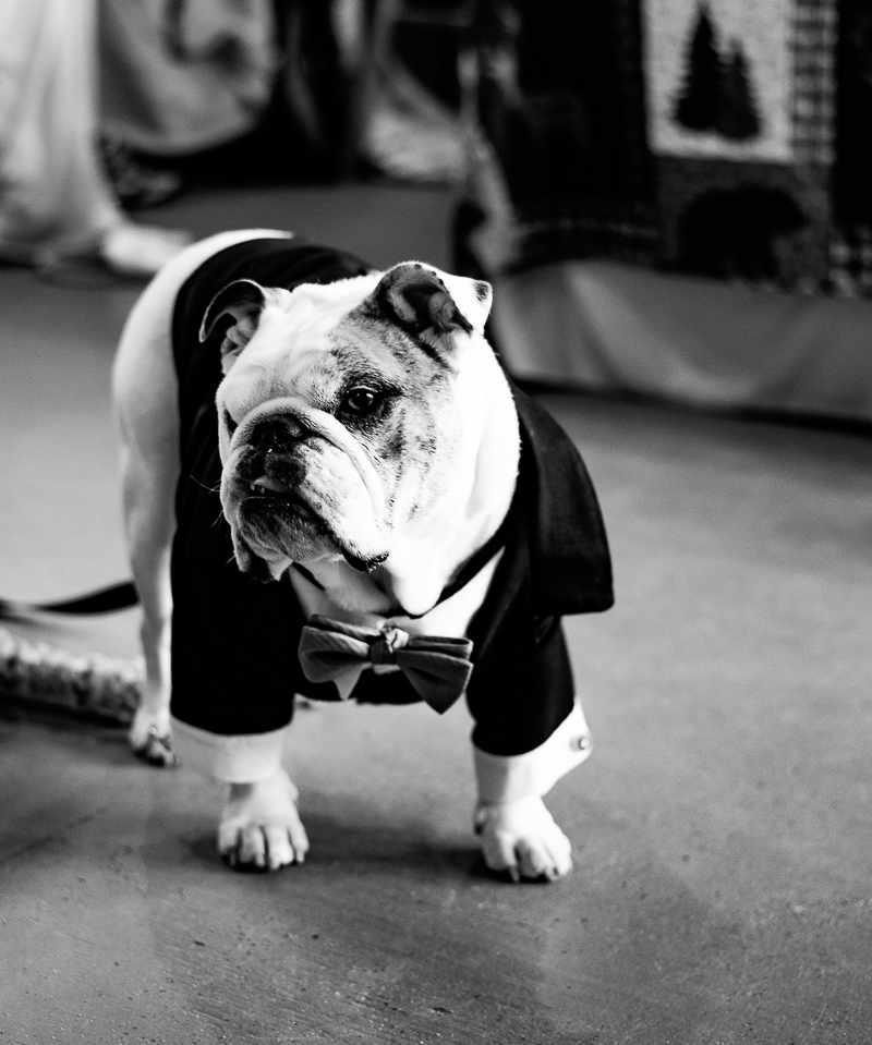 fashionable English Bulldog, dog-friendly wedding ©Weddings By Ray