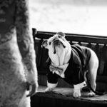 Best (Wedding) Dog:  Xavier the English Bulldog