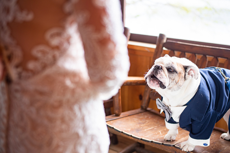 English Bulldog on bench, wedding dog | ©Weddings By Ray