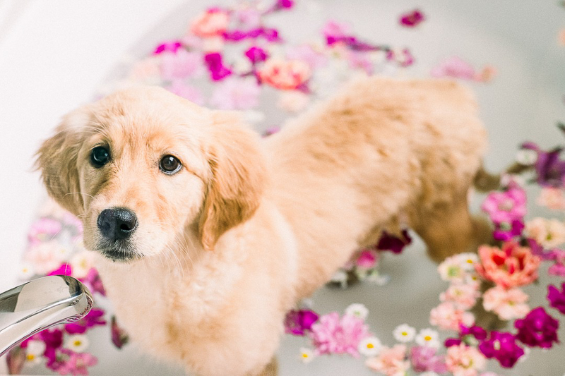 Floral bath photoshoot with a Golden Retriever puppy, ©Alyssa Lynne Photography, dog photography ideas