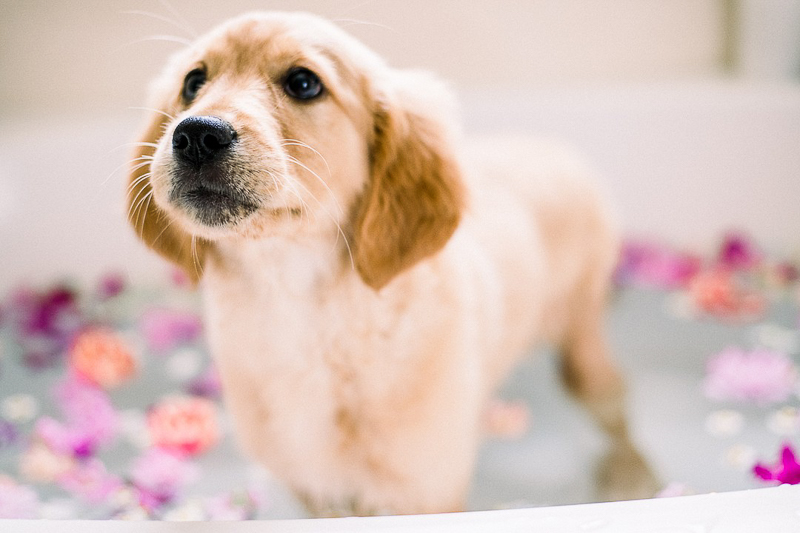 Golden Retriever puppy in the tub, ©Alyssa Lynne Photography, Reno pet photography