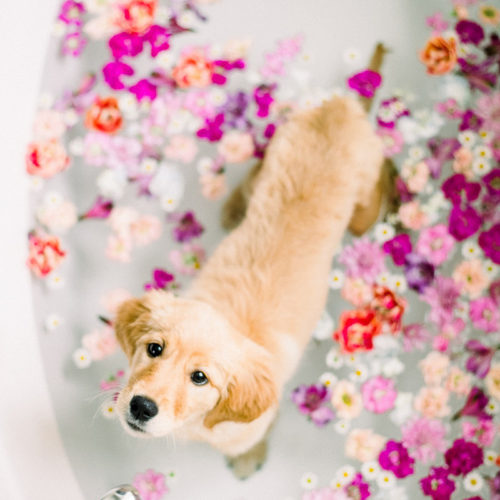Puppy Love:  Floral Bath for a Golden Retriever Pup