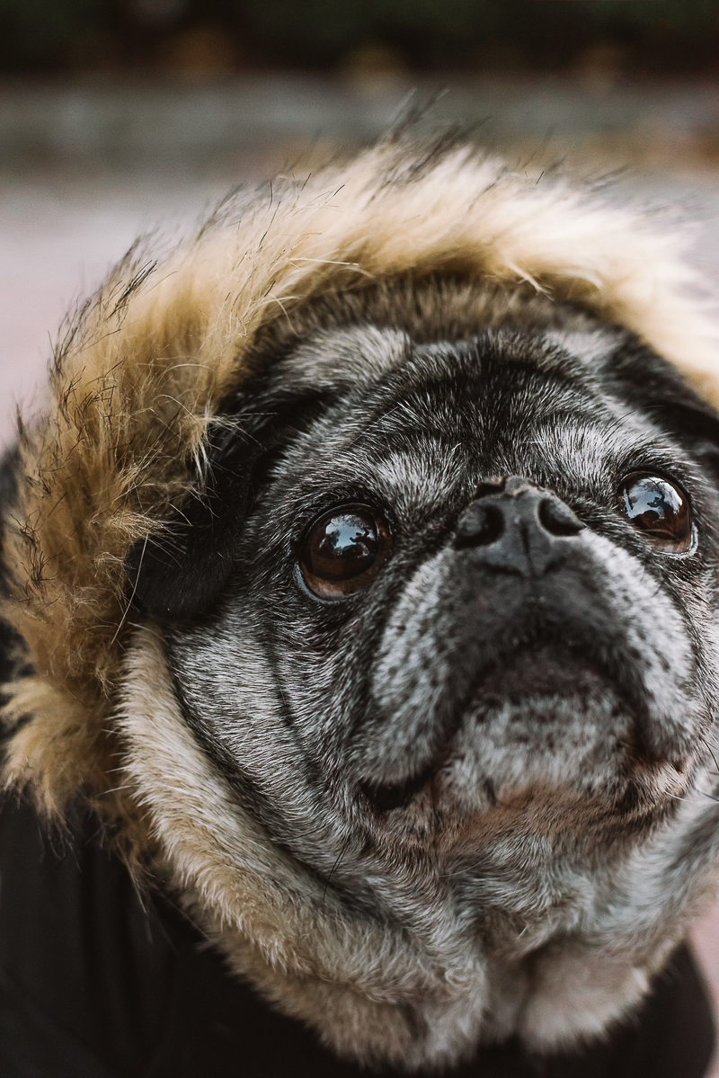 cute senior Pug close up | ©Mei Lin Barral Photography, lifestyle dog portraits