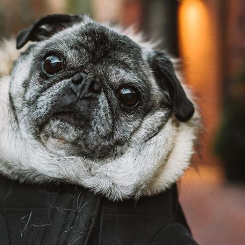 Happy Tails:  A Pug Named Howard | Boston, MA