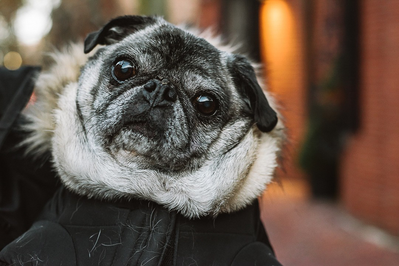Pug Named Howard, lifestyle dog photography | ©Mei Lin Barral Photography