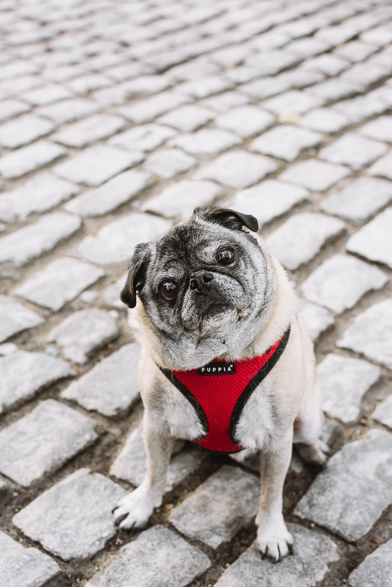 cute senior Pug sitting on cobblestone street | ©Mei Lin Barral Photography, lifestyle pet photographer