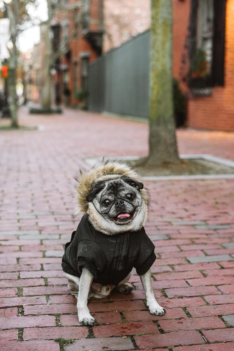 Pug named Howard, ©Mei Lin Barral Photography