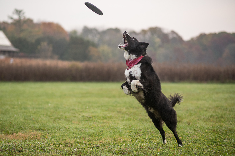 Border Collie catching frisbee, dog at play, action pet photography ©Ueda Photography, Madison, WI