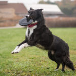 Engaging Tails:  Jackson the Border Collie | Madison, WI