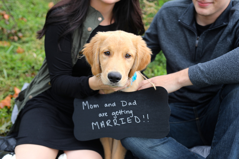 dog-friendly engagement photos with Golden Retriever pup, dog wearing wedding sign, ©Abigail Saalfrank Photography, Fort Wayne, IN dog friendly engagement photos