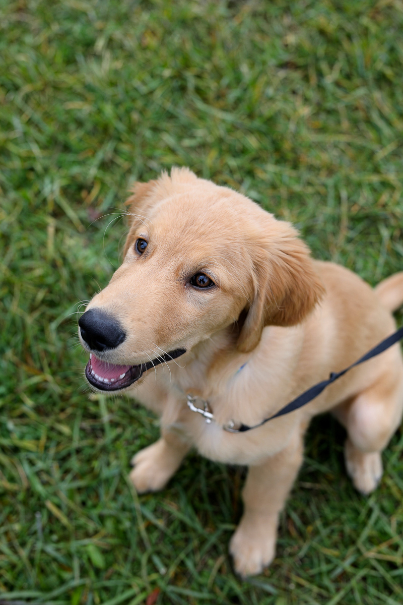 Golden Retriever puppy sitting in grass, lifestyle pet photography ©Abigail Saalfrank Photography, Fort Wayne, IN