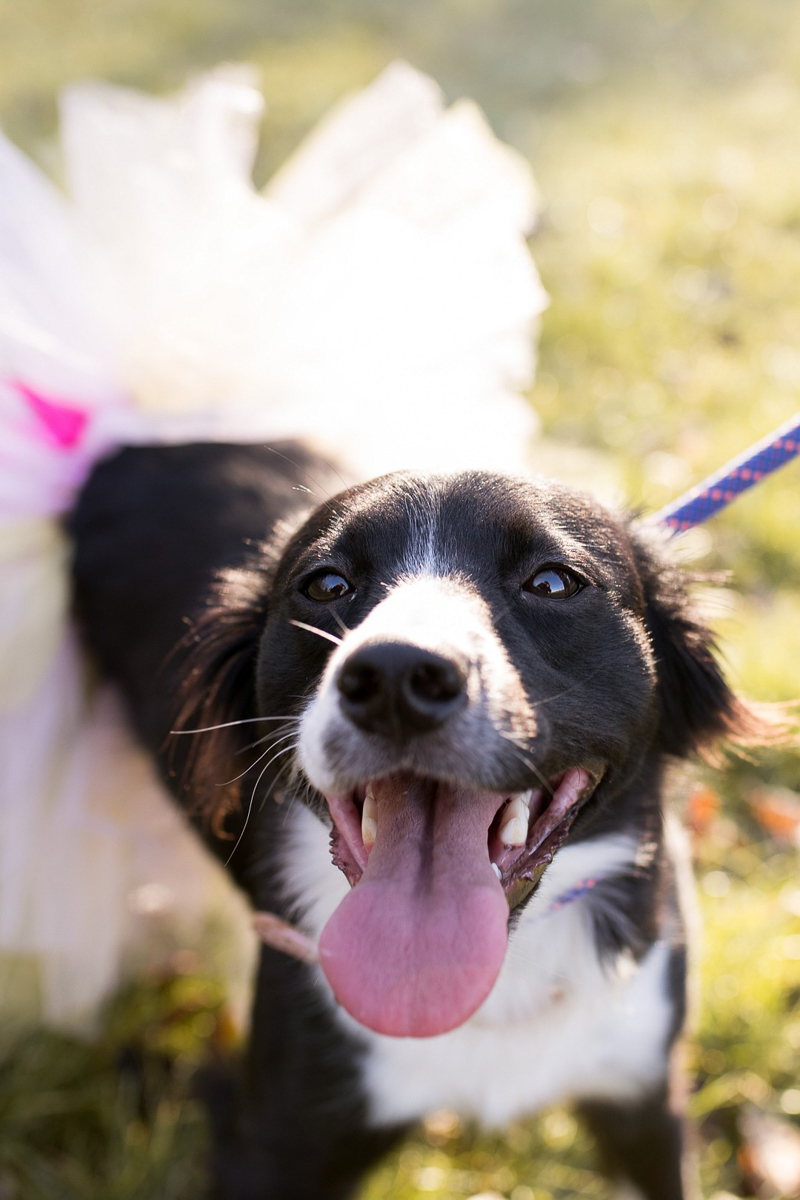 Border Collie in tutu, ©Autumn Howell Photography
