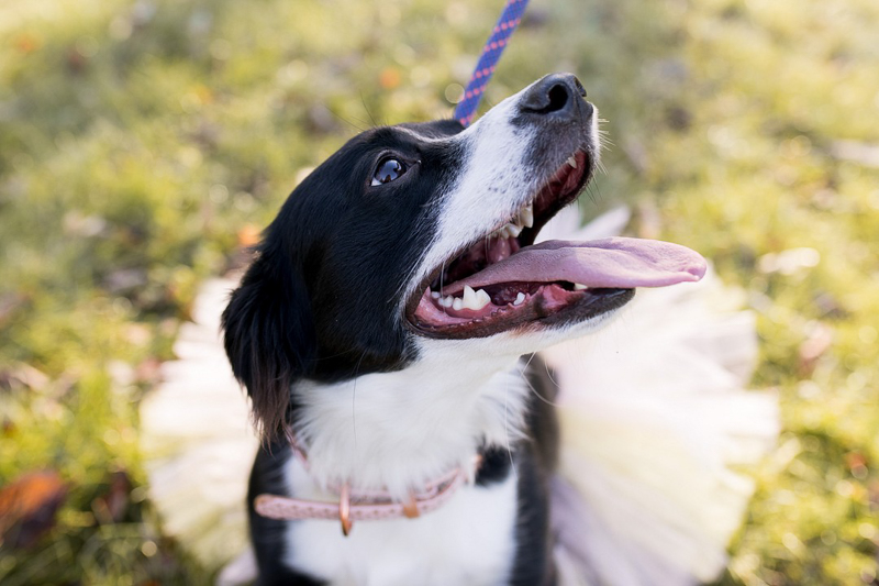 happy dog wearing pink collar and white tutu | ©Autumn Howell Photography, Fort Wayne IN pet photography