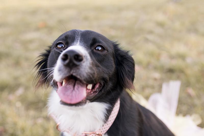 cute Border Collie, celebration of dog's birthday | ©Autumn Howell Photography