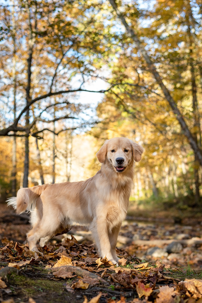 teenage Golden Retriever in the woods, lifestyle dog photography, ©Bark & Gold Photography