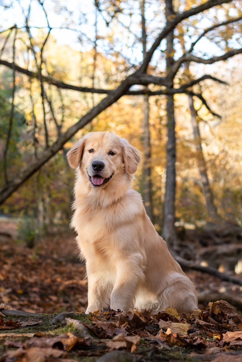 happy Golden Retriever in the woods ©Bark & Gold Photography, Pittsburgh dog photographer