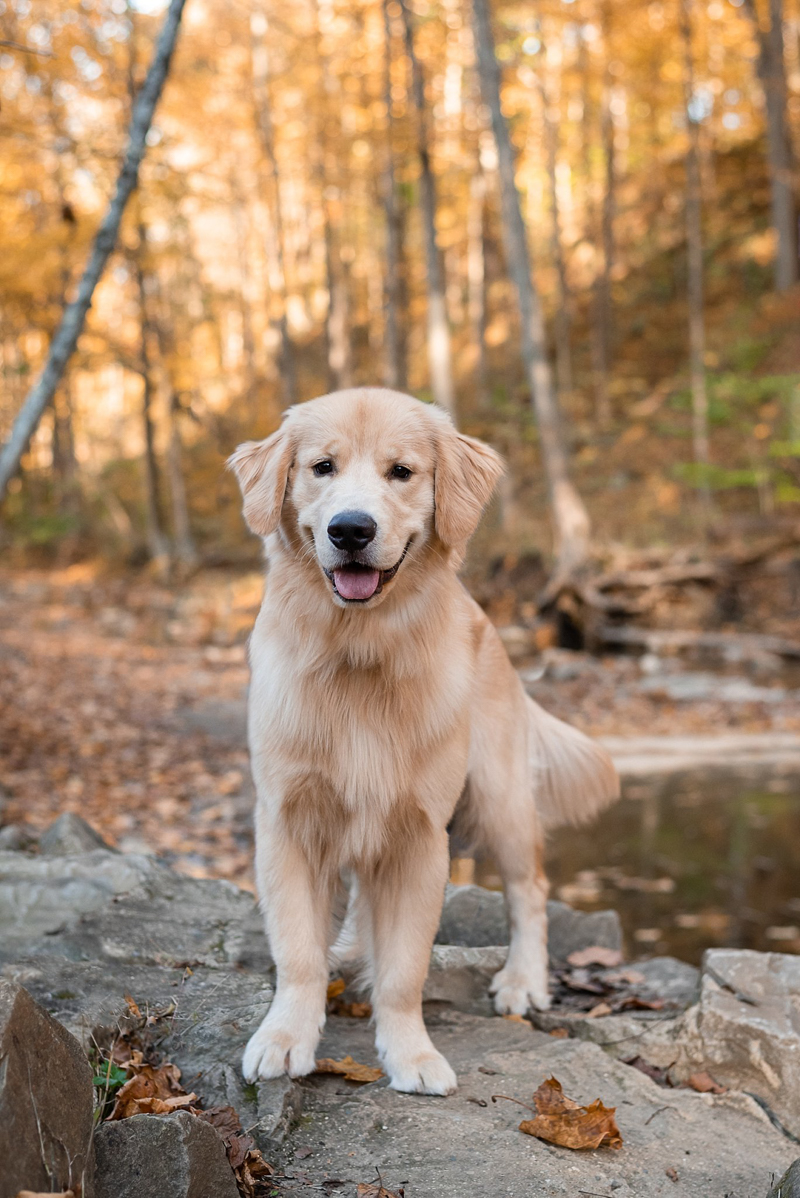 Golden Retriever in the woods, ©Bark & Gold Photography - Pittsburgh lifestyle dog photography