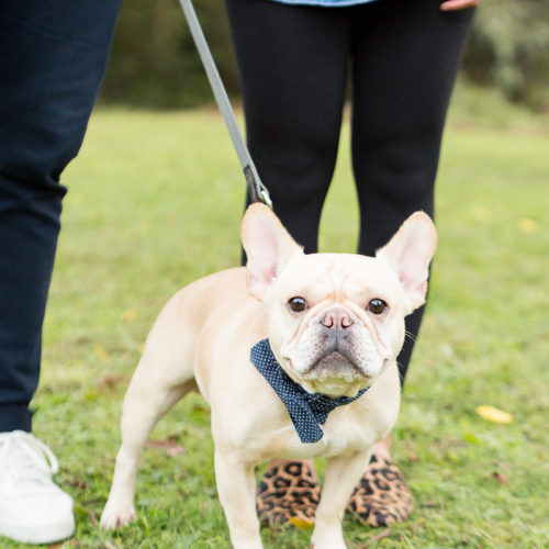 Engaging Tails:  Jenkins the French Bulldog | Columbia, SC