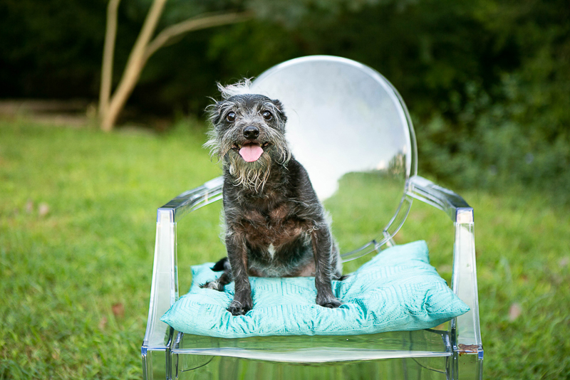 cute Chinese Crested mixed breed on chair outside,, lifestyle pet photography, ©Mandy Whitley Photography | Nashville
