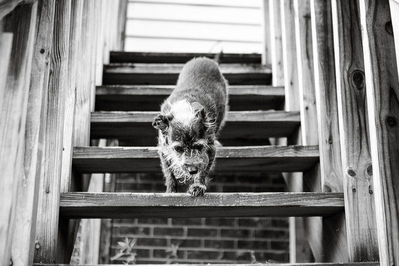 sweet senior dog going down the stairs, Chinese Crested mixed breed pup, ©Mandy Whitley Photography