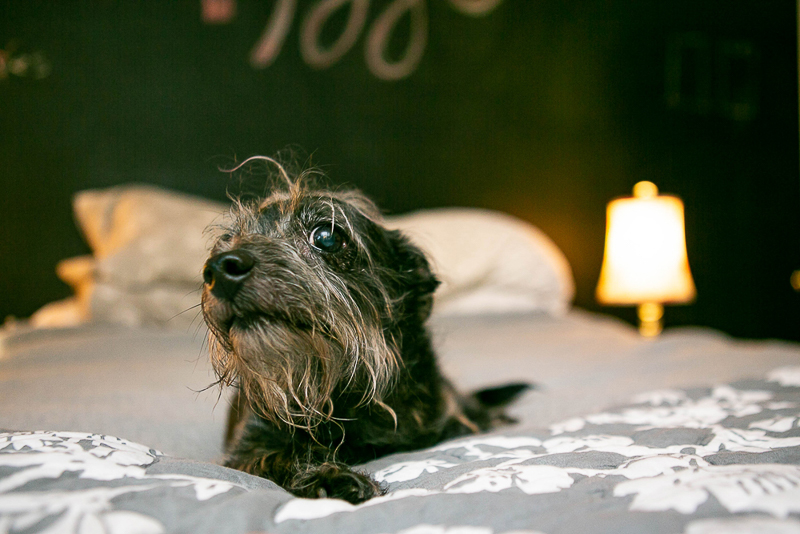 cute senior mutt on bed, lifestyle pet portraits, ©Mandy Whitley Photography